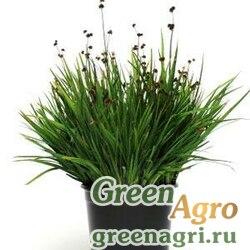 Ситник мечелистный Juncus ensifolius STARHEAD GREEN Multi-pelleted 1000
