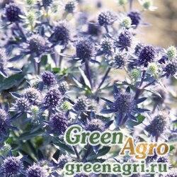 Синеголовник Eryngium planum Blue Hobbit Blue Raw 1000