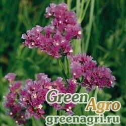 """Статица (Лимониум) выемчатая (Limonium sinuatum) """"Qis"""" (lavender) raw 1000 шт."""