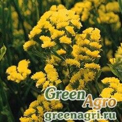 "Статица (Лимониум) выемчатая (Limonium sinuatum) ""Qis"" (yellow) raw 1000 шт."
