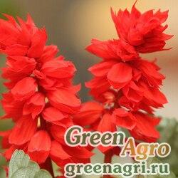 """Сальвия блестящая (Salvia splendens) """"Scarlet King"""" (scarlet) raw 1000 шт."""