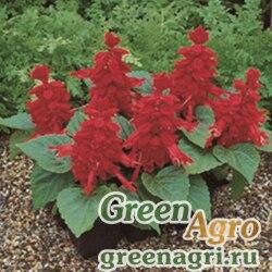 """Сальвия блестящая (Salvia splendens) """"Salsa"""" (scarlet) raw 1000 шт."""