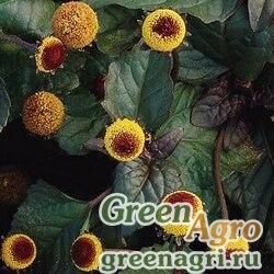 "Спилантес масличный (Acmella oleracea) ""Peek-A-Boo"" (golden yellow with purple eye) 500 шт."