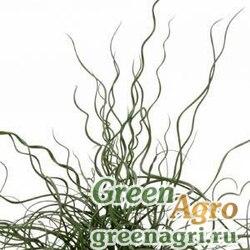 Ситник развесистый Juncus effusus spiralis SPIRALIS TWISTER GREEN Multi-pelleted 1000