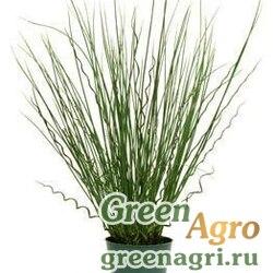 Ситник искривленный/развесистый Juncus inflexus TWISTED ARROWS GREEN Multi-pelleted 100