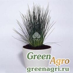 Ситник спиральный Juncus sp. Hedgehog Grass Raw 1000