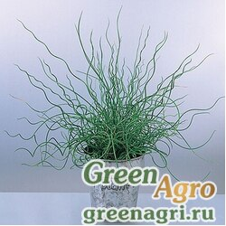 "Ситник развесистый (Juncus effusus) ""Spiralis Twister"" (green) multi-pelleted 100 шт."