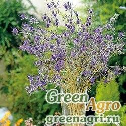 Синеголовник Ливенворта Eryngium leavenworthii Purple Sheen Purple Raw 1000