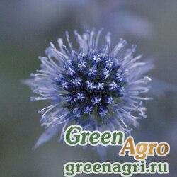 Синеголовник Eryngium planum Glitter Blue Raw 1000