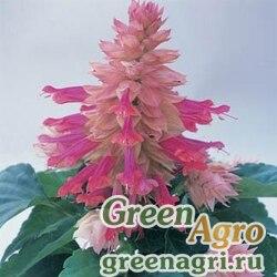 """Сальвия блестящая (Salvia splendens) """"Sizzler F1"""" (burgundy halo) elitech quality 1000 шт."""