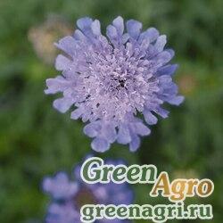 """Скабиоза японская разн. альпийская (Scabiosa japonica) """"Ritz"""" (blue) raw 1000 шт."""
