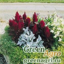 "Целозия метельчатая (Celosia plumosa) ""New Look"" (red) coated 5000 шт."