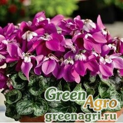 """Цикламен персидский (Cyclamen persicum) """"Fleur en Vogue F1"""" (purple) raw 500 шт."""