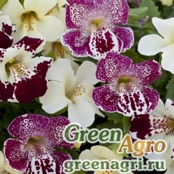 "Губастик гибридный (Mimulus x hybrida) ""Magic F1"" (Spring Blossom Mix) raw 1000 шт."