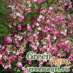 "Табак гибридный (Nicotiana x hybrida) ""Whisper f1"" (rose shades) Raw 1000 шт."