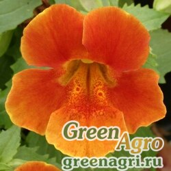 "Губастик гибридный (Mimulus x hybrida) ""Maximus F1"" (orange) raw 1000 шт."