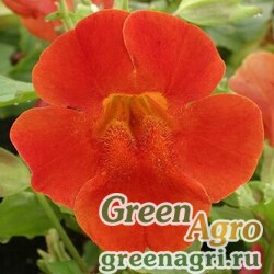 "Губастик гибридный (Mimulus x hybrida) ""Maximus F1"" (red shades) raw 1000 шт."
