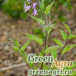 Паслен Китагавы (Solanum kitagawae) 4 гр.