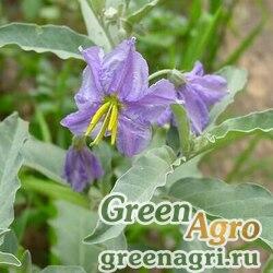 Паслен лохолистный (Solanum elaeagnifolium) 1.5 гр.