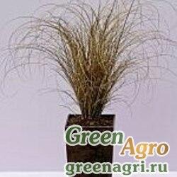 """Осока власовидная (Carex comans) """"Bronze Curls"""" raw 1000 шт."""