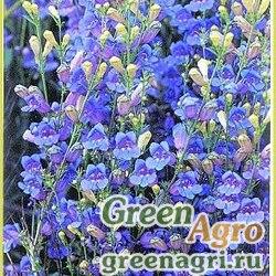"""Пенстемон разнолистный (Penstemon heterophyllus) """"Electric Blue"""" (blue) raw 1000 шт."""