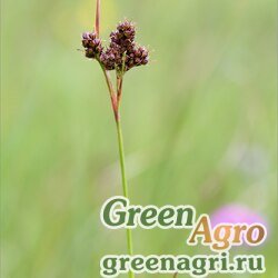 Ожика холодная (Luzula frigida) 3 гр.
