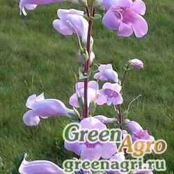 Пенстемон крупноцветковый (Penstemon grandiflorus) 1 гр.