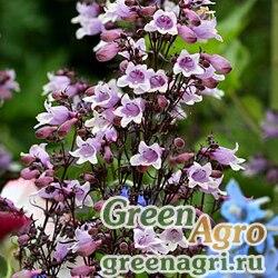 "Пенстемон наперстянковый (Penstemon digitalis) ""Mystica"" (lavender pink) Apex 1000 шт."