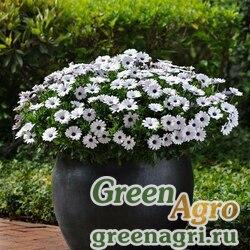 "Остеоспермум Эклона (Osteospermum ecklonis) ""Akila F1"" (white) raw 100 шт."