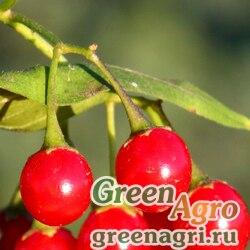 Паслен сладко-горький (Solanum dulcamara) 6 гр.