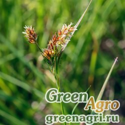 Ожика многоцветковая (Luzula multiflora) 1 гр.