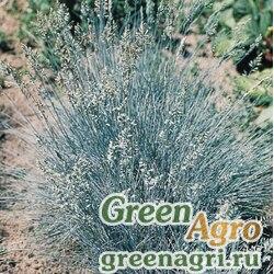 "Овсяница валисская сизоватая (Festuca valesiaca) ""Glaucantha"" 0.4 гр."