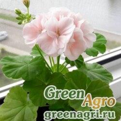 """Пеларгония зональная (Pelargonium hortorum) """"Colorama F2"""" (pink) 1 гр."""