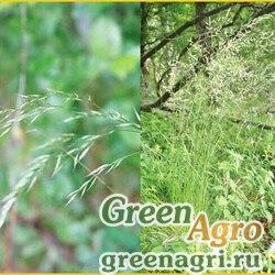 Овсяница разнолистная (Festuca heterophylla) 2 гр.