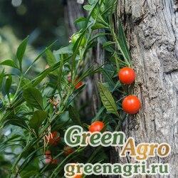 Паслен ложноперечный (Solanum pseudocapsicum) 30 гр.