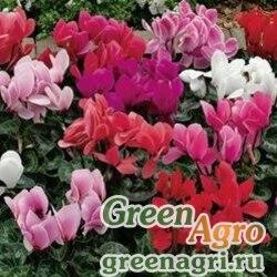 "Цикламен персидский (Cyclamen persicum) ""Sierra F1"" (mix) raw 100 шт."