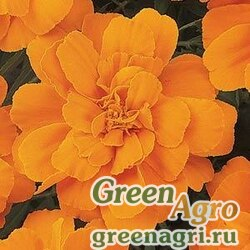 "Бархатцы отклоненные (Tagetes patula) ""Durango"" (tangerine) detailed 1000 шт."