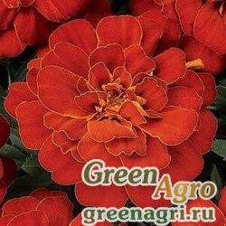 "Бархатцы отклоненные (Tagetes patula) ""Durango"" (red) coated 1000 шт."