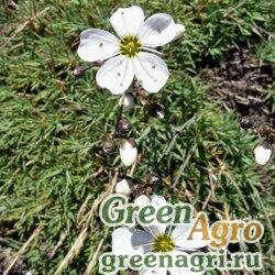 Песчанка чукотская (Arenaria tschukschorum) 2 гр.