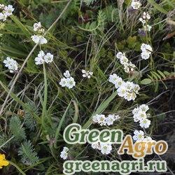 Песчанка горицветная (Arenaria lichnidea) 0.5 гр.