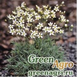 Песчанка Ледебура (Arenaria ledebouriana) 0.5 гр.