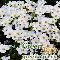 Песчанка горная (Arenaria montana) (white) raw 1000 шт.