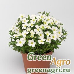 """Песчанка горная (Arenaria montana) """"Blizzard Compact"""" (white) raw 1000 шт."""
