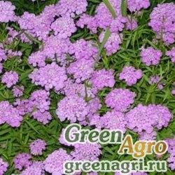 Иберис зонтичный Пурпурный бархат  (упак-50 гр.)