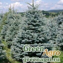 """Ель колючая ф. сизая (Picea pungens f. glauca) """"Kaibab, AZ"""" 2 гр."""