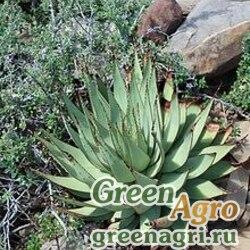 Алоэ Брума (Aloe broomii) 100 шт.