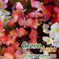 """Бегония гибридная (зеленая и бронзовая листва) (Begonia hybrida) """"Baby Wing F1"""" (mix) pelleted 100 шт."""