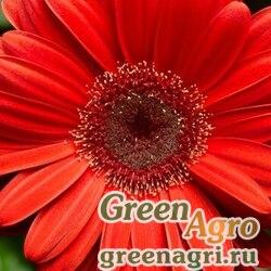 "Гербера Джеймсона (Gerbera jamesonii) ""Bengal F1"" (orange dark center) coated 100"