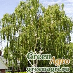 Береза повислая/бородавчатая (Betula pendula) 30 г