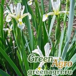 Ирис карталинский (Iris carthalinae) 3 гр.